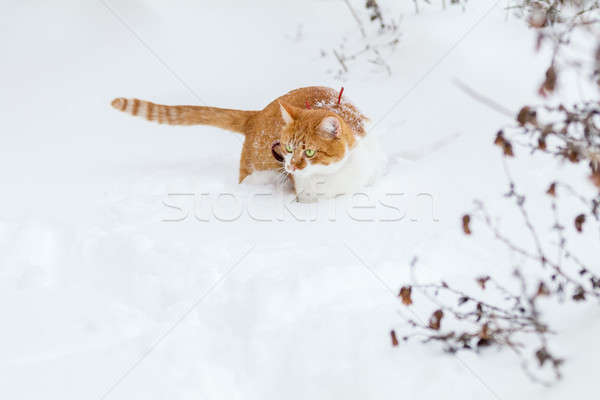 Cut red-white cat playing on white snow surface Stock photo © artsvitlyna