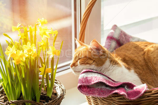 Stock photo: Morning sunlight on the sleeping red cat.