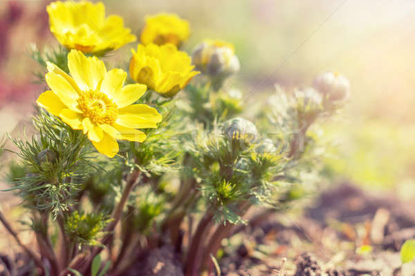 Yellow blooming spring flowers. Sunny day. It rains in sunny day Stock photo © artsvitlyna