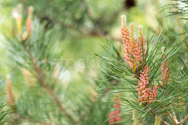 Pine tree with pine cones in the spring forest Stock photo © artsvitlyna