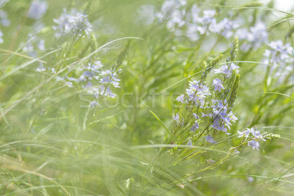 Green grass and tender blue flowers in the field Stock photo © artsvitlyna
