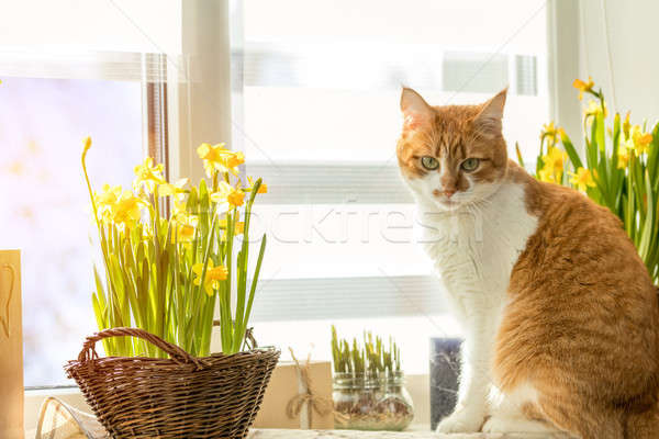 Stock photo: Morning sunlight on the red cat. Cute funny red-white cat on the