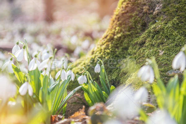 Bahar orman güzel bo Stok fotoğraf © artsvitlyna
