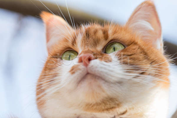Stock photo: Portrait cut funny white-and-red cat close up. Shallow depth of
