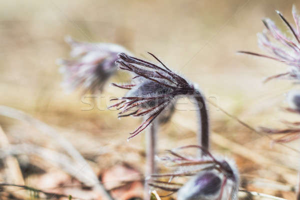 Eastern pasqueflower, prairie crocus, cutleaf anemone  Stock photo © artsvitlyna