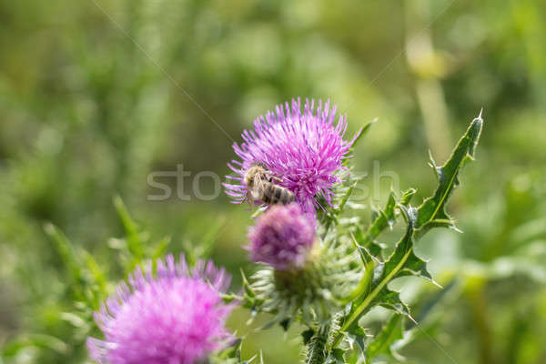 Pink purple flower heads, surrounded by spiny br. Stock photo © artsvitlyna