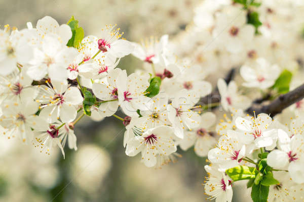 Spring background art with white cherry blossom. Beautiful natur Stock photo © artsvitlyna