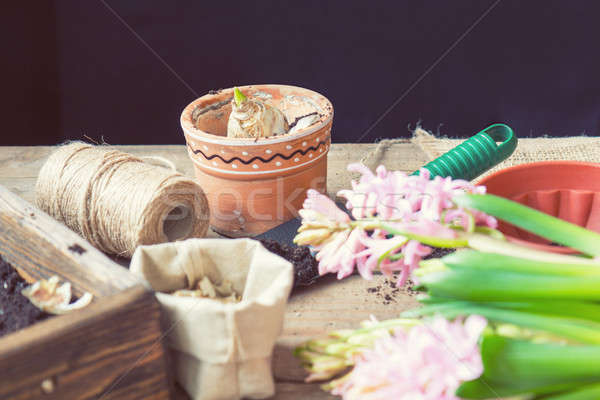 Gardening and planting concept. Woman hands planting hyacinth in Stock photo © artsvitlyna