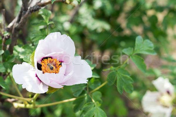 Abelha néctar belo rosa flor primavera Foto stock © artsvitlyna