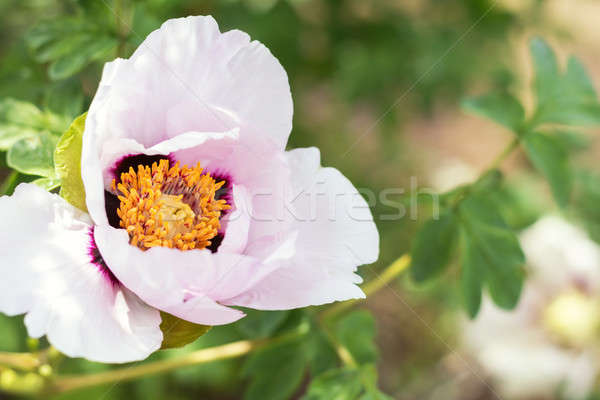 Beautiful pink peony Stock photo © artsvitlyna
