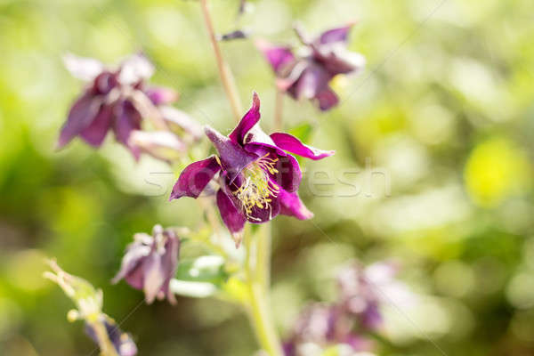 Stock photo: Violet aquilegia flowers on the sunny weather