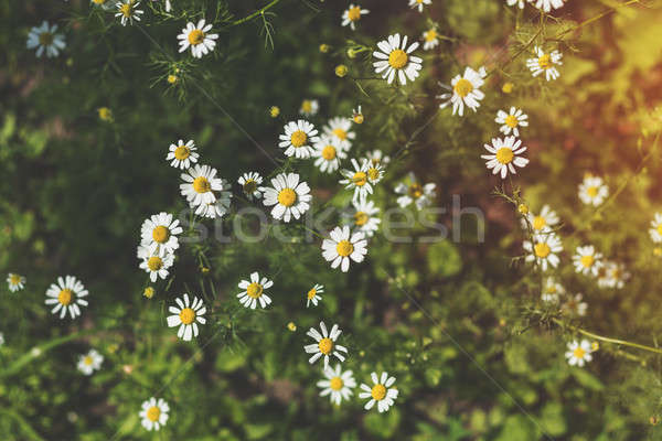 Stock photo: Blooming tender daisies in the summer time in a sunny weather. B