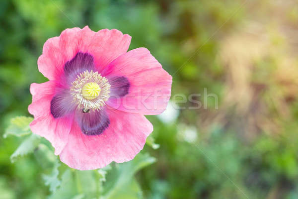Beautiful pink poppy flower. Spring background. Stock photo © artsvitlyna