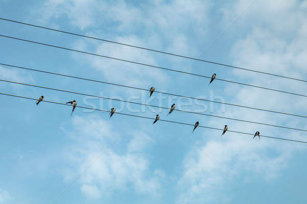 Stock photo: Swallow birds on power lines