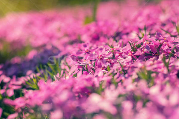Stock photo: Pink tender phlox. Beautiful summer background. Toned.