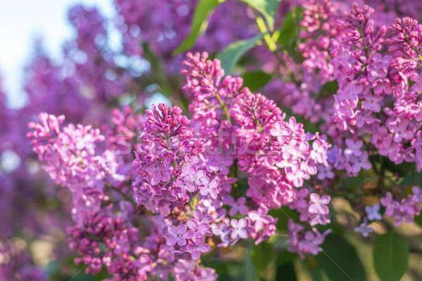 Brunch blue sky roxo flores belo Foto stock © artsvitlyna