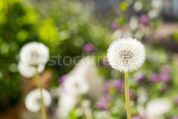 Tender white dandelions in the summer time Stock photo © artsvitlyna