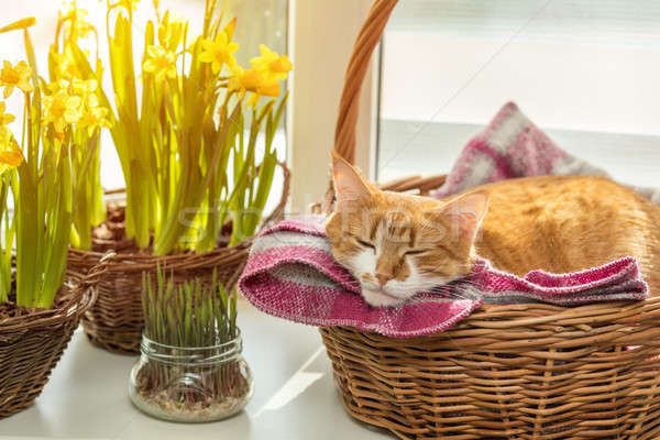 Stock photo: Morning spring sunlight on the sleeping red cat.