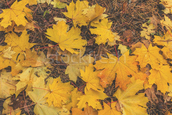 Beautiful autumn background with golden maple leaves in the city Stock photo © artsvitlyna