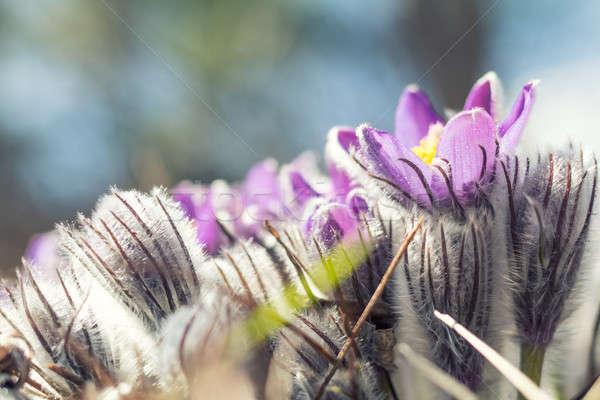 Gyönyörű tavasz ibolya virágok keleti préri Stock fotó © artsvitlyna