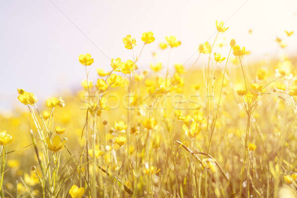 Stock photo: Blooming yellow flower in the field on a sunny day in the summer