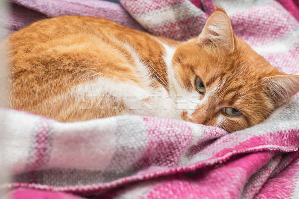 Red-and-white kitty is peaceful slumbering at the new violet pla Stock photo © artsvitlyna