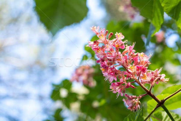Stock photo: Beautiful pink chestnut blossom