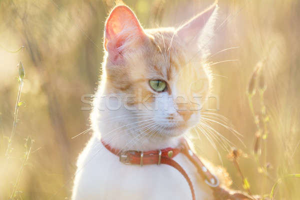 Cute white-and-red cat in a red collar in the grass. Cat is star Stock photo © artsvitlyna