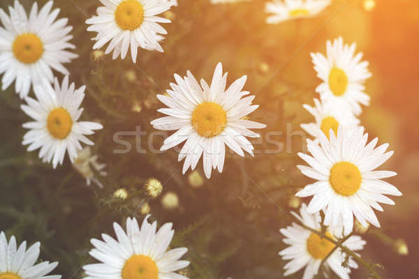 Stock photo: Tender daisies in the summertime