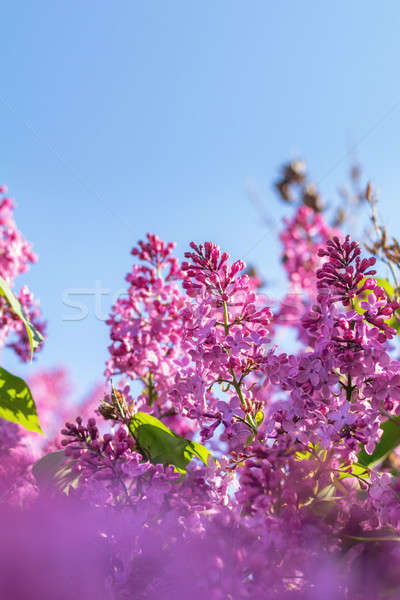 Lilac brunch at the blue sky background Stock photo © artsvitlyna