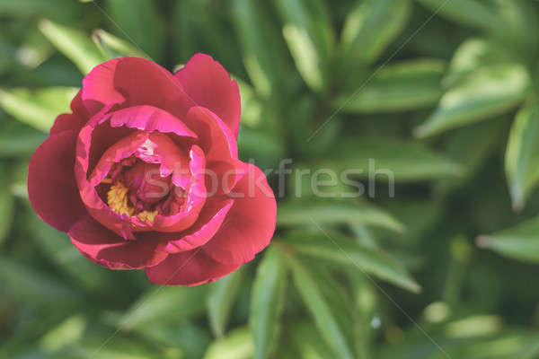 Showy peony flower. Sunny day. Stock photo © artsvitlyna