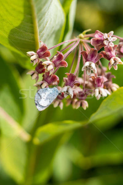 Stock photo: Butterfly feeding on milkweed