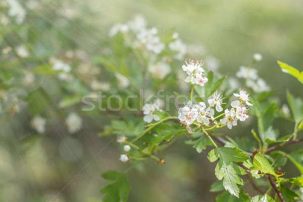 Beautiful spring scene with many little flowers. Hawthorn tree b Stock photo © artsvitlyna