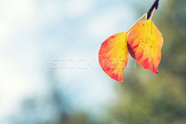 Stock photo: Branch pear with red yellow foliage, autumn leaves on blue sky b