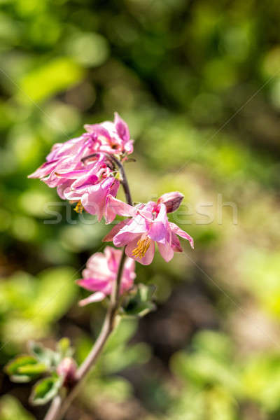 Stock photo: Pink aquilegia flowers on the sunny weather