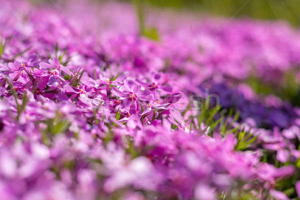 Stock photo: Pink tender phlox. Beautiful summer background
