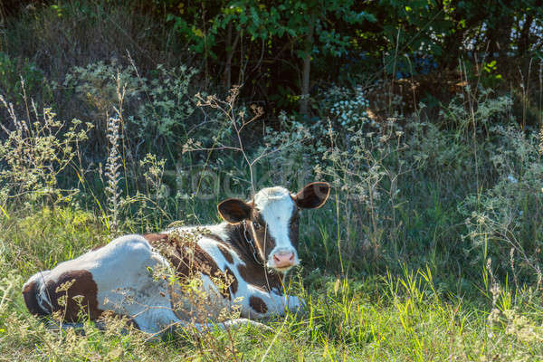 Cow grazing and resting on a pasture in the summertime. Stock photo © artsvitlyna