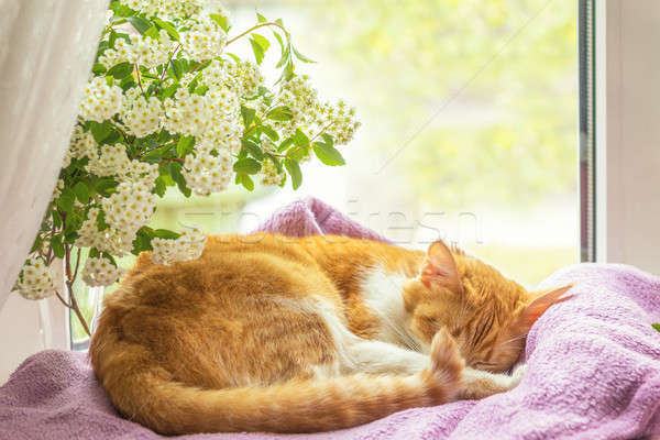 Stock photo: Red-and-white cat is sleeping on the windowsill.