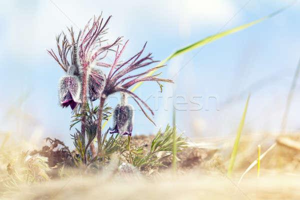 Prairie crocus, cutleaf anemone Stock photo © artsvitlyna