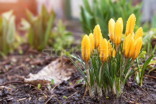 Yellow blooming crocuses with water drops. Low angle. Sunrise. B Stock photo © artsvitlyna