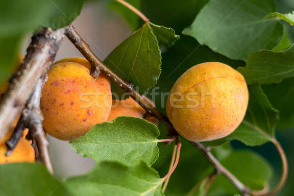 Fragrant ripe juicy apricots on a branch with green leaves Stock photo © artsvitlyna