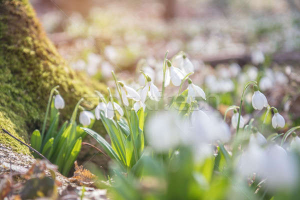 Stock photo: Sunrise light on the white tender snowdrops in the spring forest