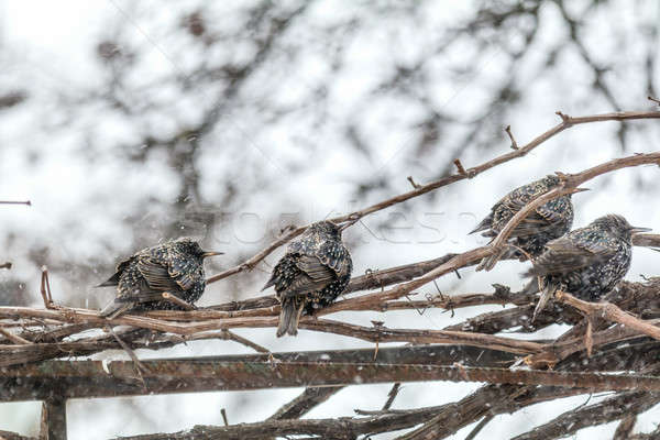 Stock photo: Many common european starling birds on grape vine while snowfall