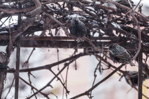 Many common european starling birds on grape vine while snowfall Stock photo © artsvitlyna