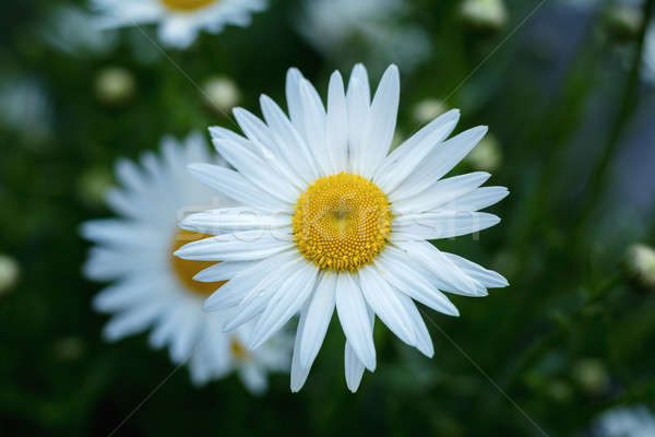 Tenero margherite ora legale fioritura pioggia gocce Foto d'archivio © artsvitlyna