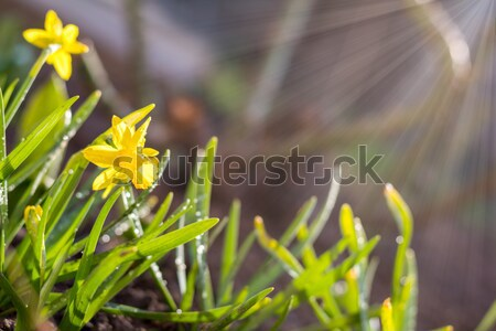 Stock photo: Yellow blooming daffodil. Low angle. Sunshine. Sunrise.