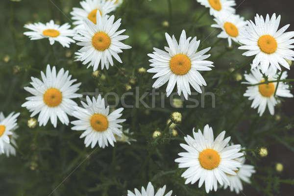 Gyengéd százszorszépek nyáridő virágzó eső cseppek Stock fotó © artsvitlyna