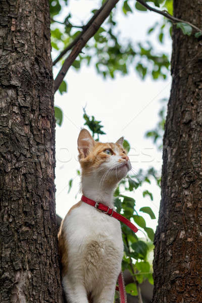 Cute white-and-red cat in a red collar on the tree. Cat is stari Stock photo © artsvitlyna
