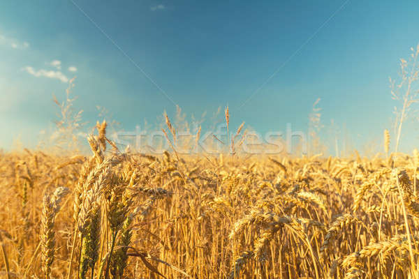 Stock photo: Agricultural fragmental panorama of the wheat field. Ripe wheat