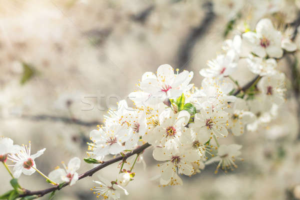 Stock photo: Spring background art with white cherry blossom